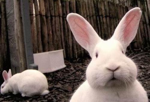 Conejo, un signo chino amable y tranquilo