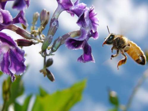 Polen y abejas en alergias primaverales