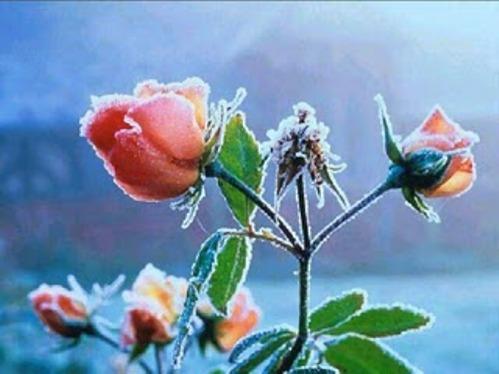 Rosas con escarcha