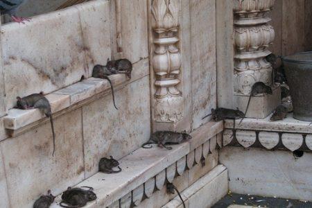 La magia del templo hindú de Karni Mata